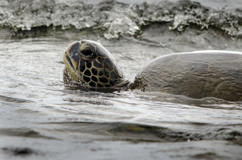 a Hawaiian green turtle coming up from air