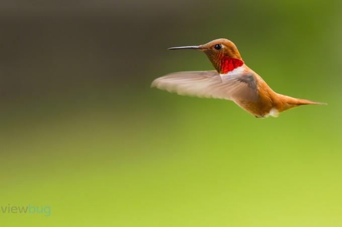 Rufous Hummingbird Male by windycorduroy