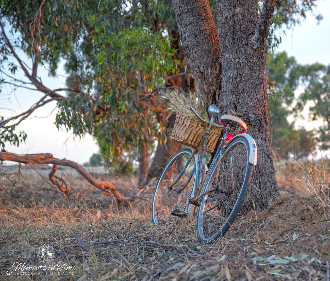 Old ladies bicycle leans against tree nice bunch wheat in basket...... nice evening light.