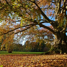Magnificent mature copper beech in autumn clothing in a hospital park near Paris, France.