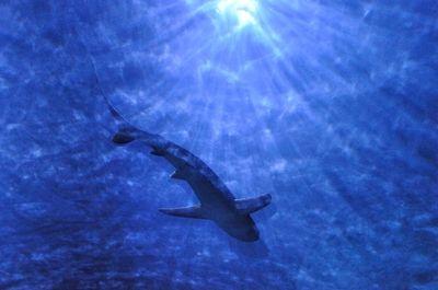 Shark Shadow 1