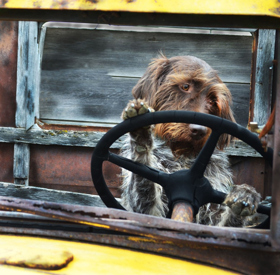 I photo of my dog that I took. I had him pose in a old truck. It was really fun and I think it tu...