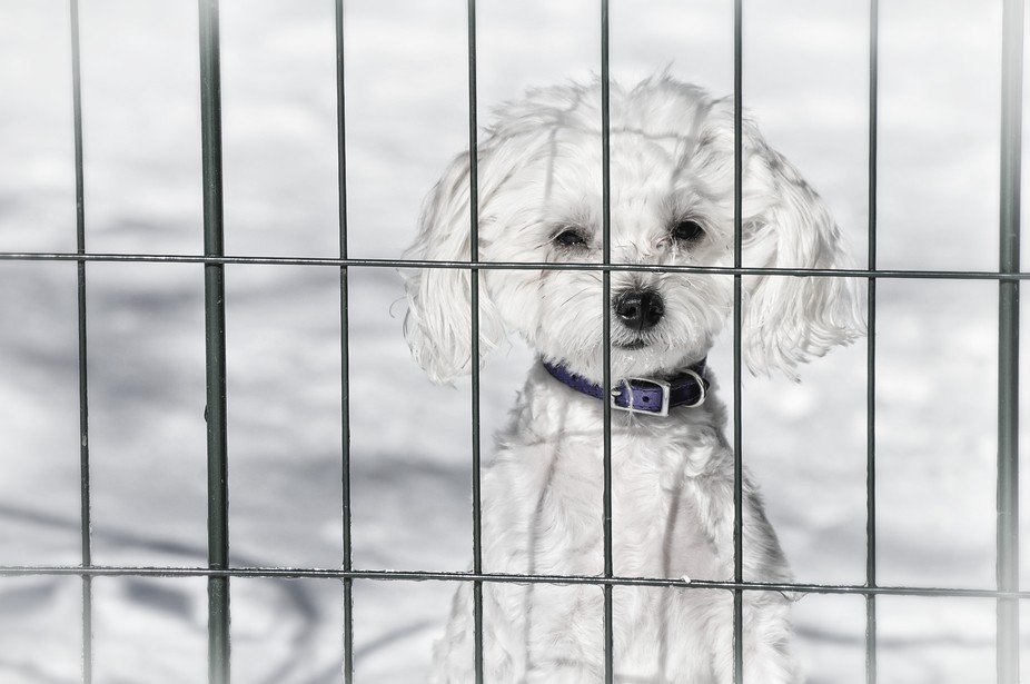 This is our little Malti-poo. She wasn\'t sure about the snow this winter, but wanted to come out ...