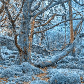 Mossy forest scenery from Killarney Park, Ireland. Processed with bright blue colors in the foliage for a surreal and winter cold atmosphere.