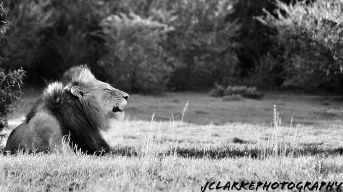 Lions in S.A. by JClarkePhoto - Black And White Compositions Photo Contest