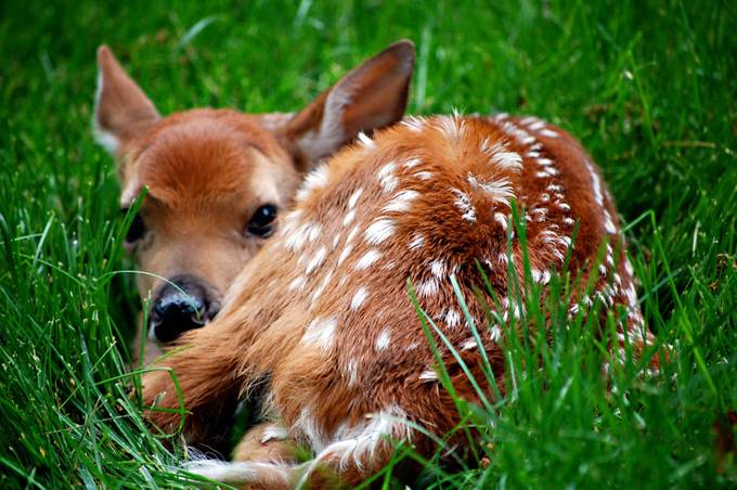 Fawn by Bebe11 - Baby Animals Photo Contest