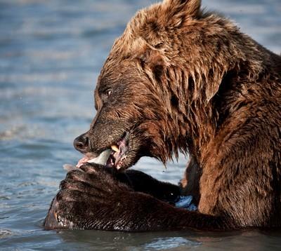 PRINCE WILLIAM SOUND BEAR 2