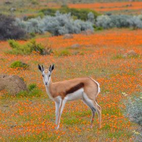 Springbok amongst spring flowers at Namaqua National Park, South Africa