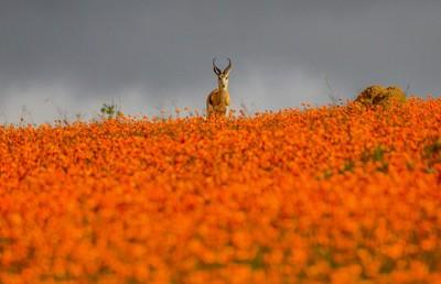 Namaqualand Springbok