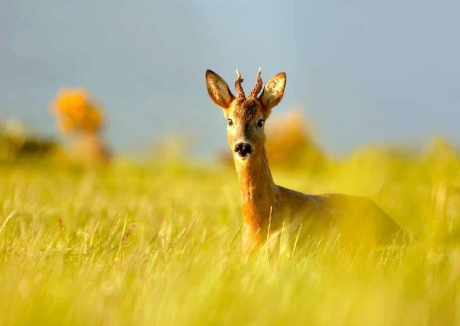 Roe Deer captured during Golden hour in the Highlands of Scotland.