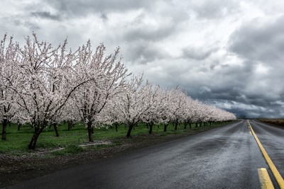 Orchard in bloom 2