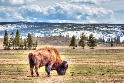 Buffalo Friend
