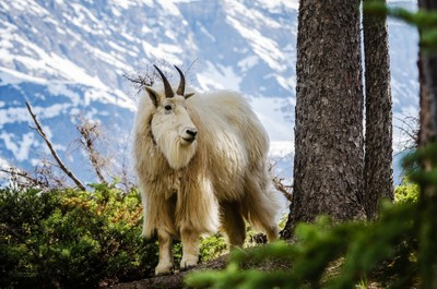 Mountain Goat - Good side
