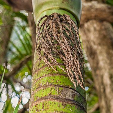 NZ native palm tree.
