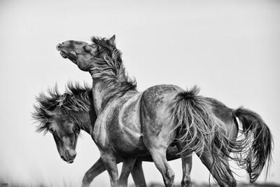 Wildhorses of Beaufort, NC