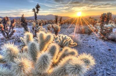 Sunrise Above Cholla Cactus
