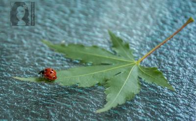 Ladybug on a leaf-hammock
