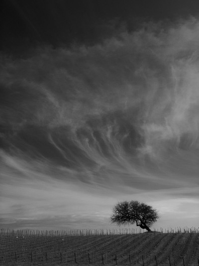 Vineyard in the clouds with solitary tree