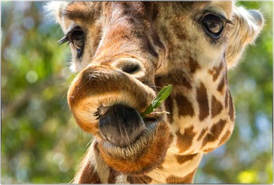 A Giraffe and his Toothpick
