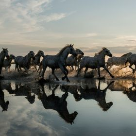 These are the Camargue White horses.  they live in the bleak camargue region of South East France