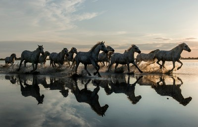 Wild Horses Galloping at Sunset