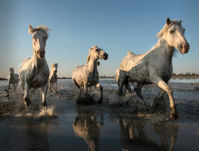 White horses of the Camargue by Masher - Get Wet Photo Contest