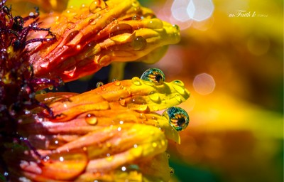 Reflections of a Blanket Flower