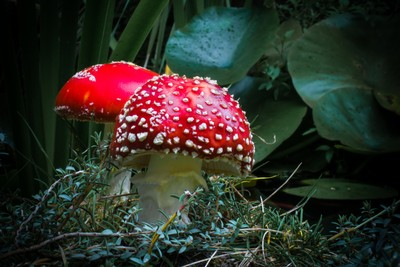 Mushrooms (Amanita muscaria)
