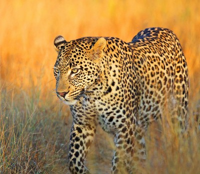 The Vomba young male leopard