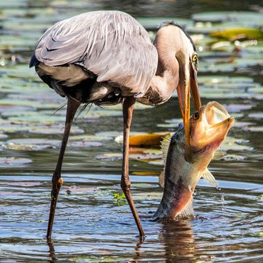 Heron catching more than he could swallow