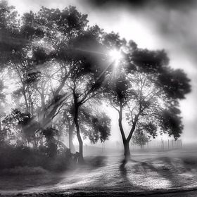 Black and white of sun through trees in early morning fog