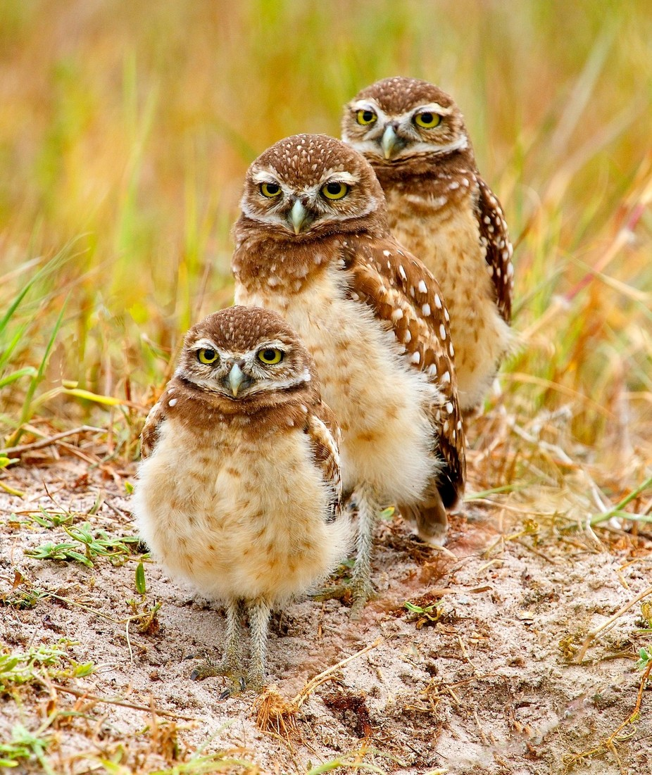 Three Owlets by harryselsor - Beautiful Owls Photo Contest