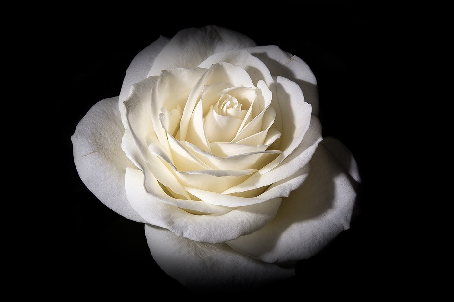 A single white rose shot indoors using off camera flash to produce the black backdrop.