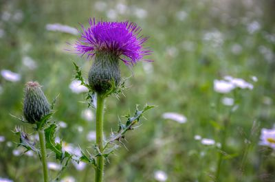 thistle and that