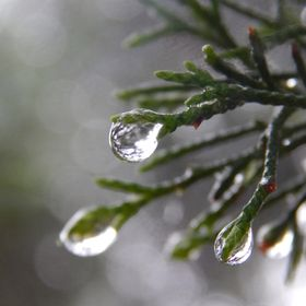 Thunderstorms leave amazing picture opportunities for capturing raindrops hanging on the edge of a cedar branch.