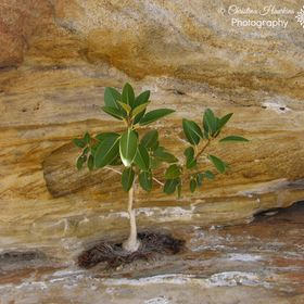 Wild fig tree growing on the side of a rock face at Mount Augustus National Park Western Australia