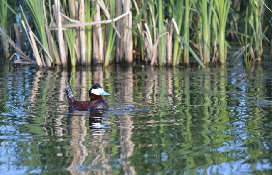 A beautiful duck in full plumage