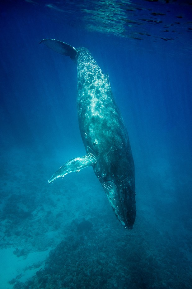 Humpback by KanaPhotography - Wildlife And Water Photo Contest