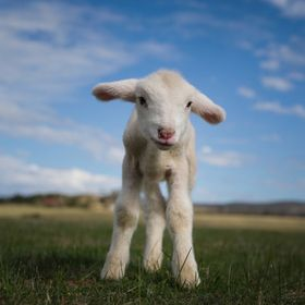 Orphaned lamb Dorothy who was found on the side of the ride by passing by motorists enjoying life at Edgar's Mission Farm Sanctuary - www.edgarsm...