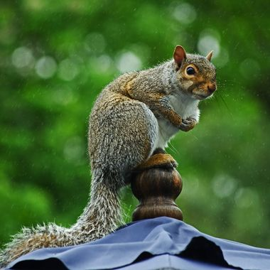 A grey squirrel sitting on top of a sun umbrella in the rain.