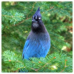 A stellar's jay that was hanging out near Calypso Cascades in Rocky Mountain National Park.