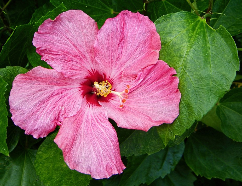 A large rose pink Hibiscus from Sunken Gardens in St. Petersburg, FL