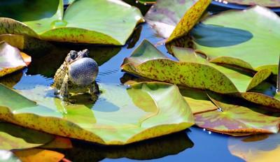 Bullfrog Serenade