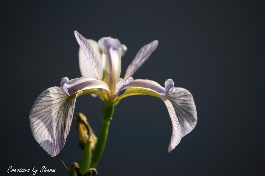 Parvins Park Iris