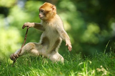 monkey baby with a stick