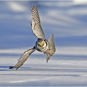 Taken in Finland this Hawk Owl swooped down so quickly, I was very lucky to capture this shot