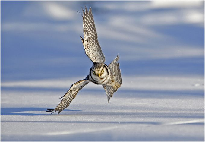 Hawk Owl hunting over the snow by hibbz - Only Owls Photo Contest