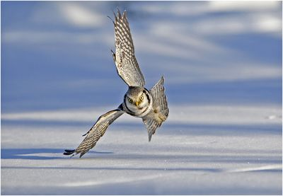 Hawk Owl hunting over the snow