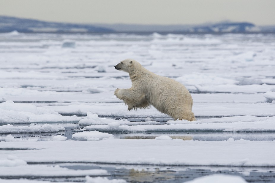 Polar bear leaping on the pack ice,