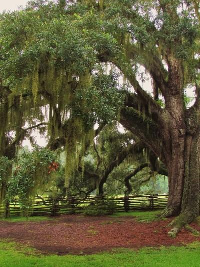 Standing Oak
